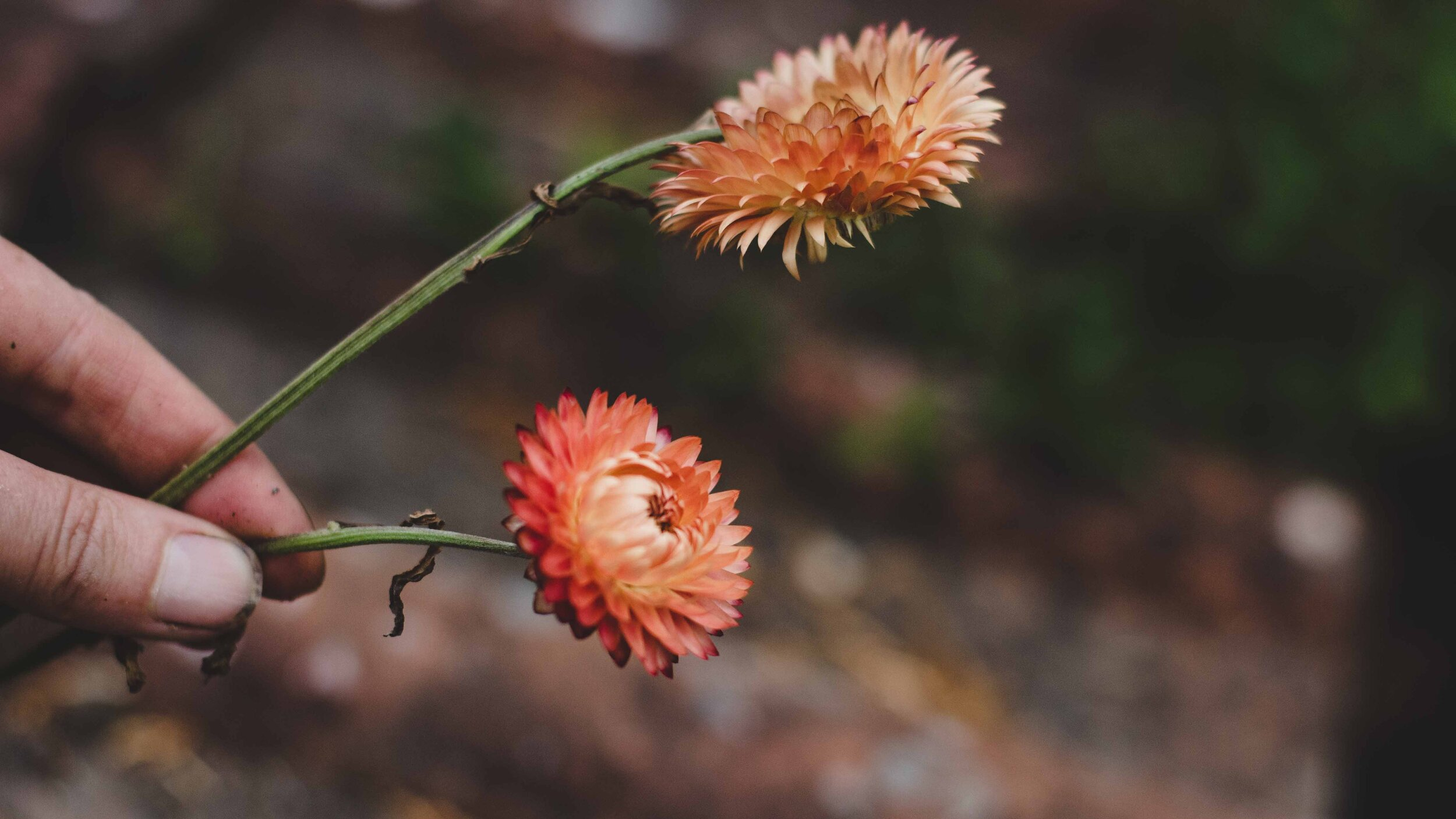 Copper strawflower