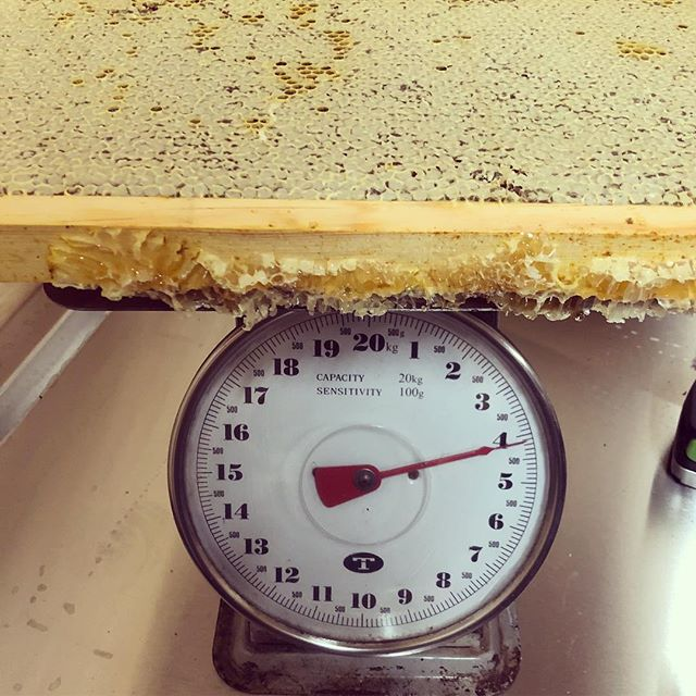 4.1kg!!! Last nights extraction of a friends hive - heavy frames of Marri Karri mix. Delicious! #local #lovehoney #marri #activehoney #dunsborough #margaretriver #bees #beekeeping #saturdaynight #karri #beekeepersparadise #localbeeslocalhoney