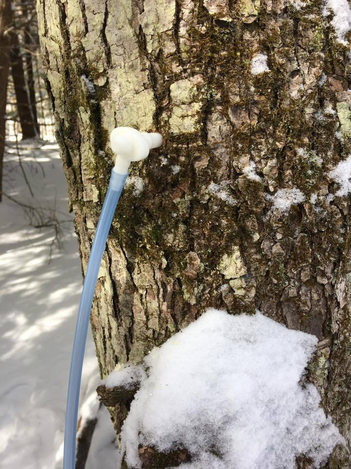 Sugar maple spout doing its job!