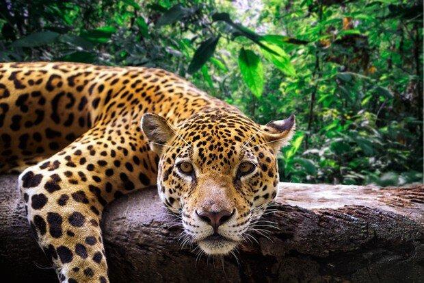 Jaguar 2.jpeg