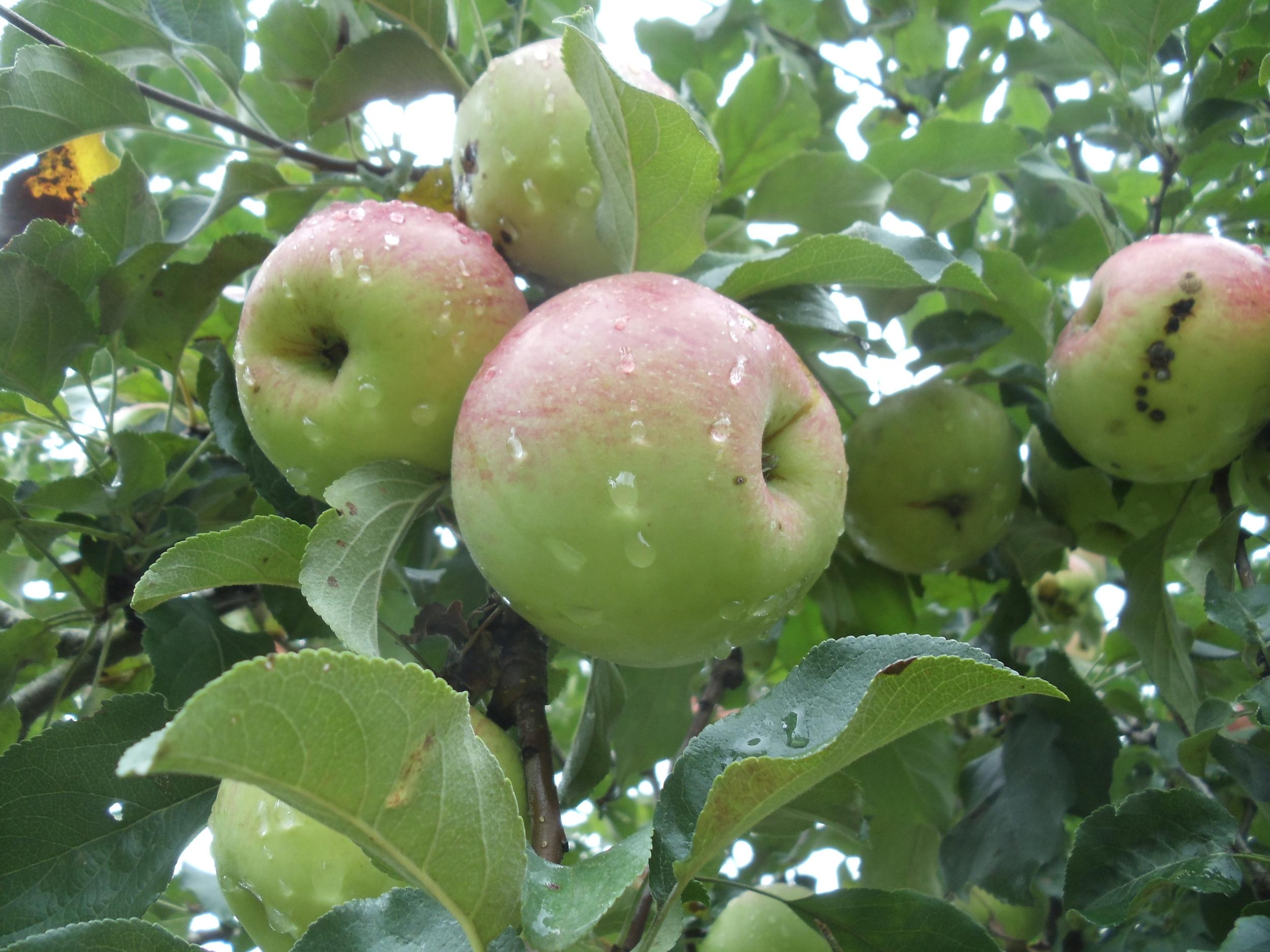 Charette apples, still on the tree