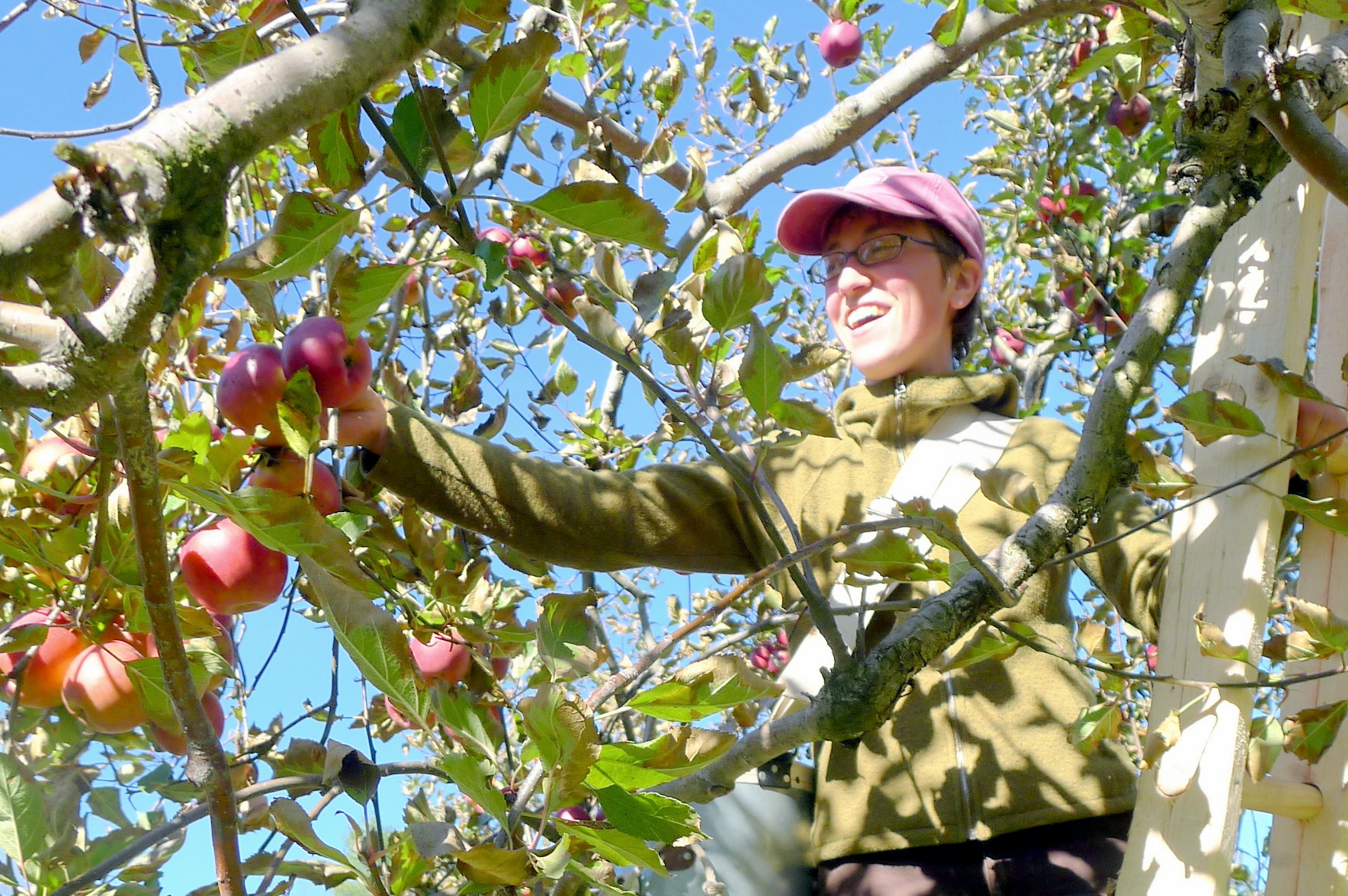 Abbey picking Rome apples.