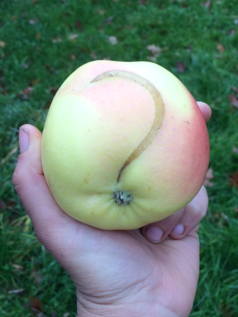 Guess the mystery apple!