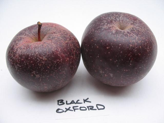 blackoxford11-duo.jpg