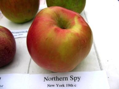 northern spy.jpg