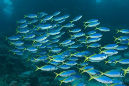 Aus - Cairns Reef fish FOT.jpg
