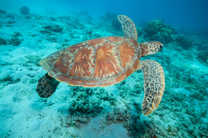Aus - Cairns Reef Turtle FOT.jpg