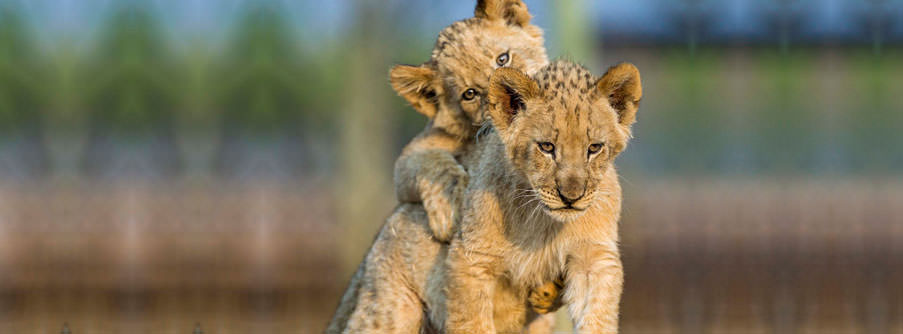 Joburg lion park 1.jpg