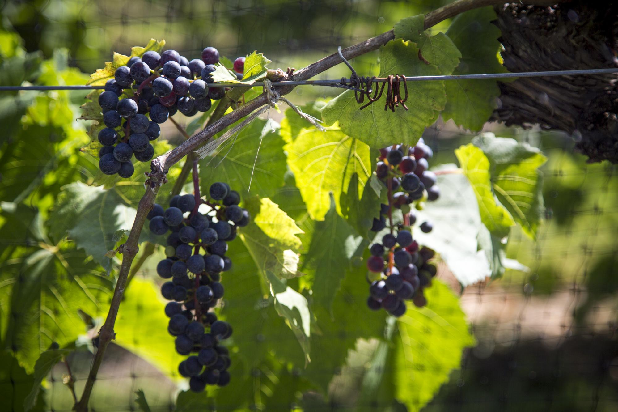 Grapes2016-1.jpg