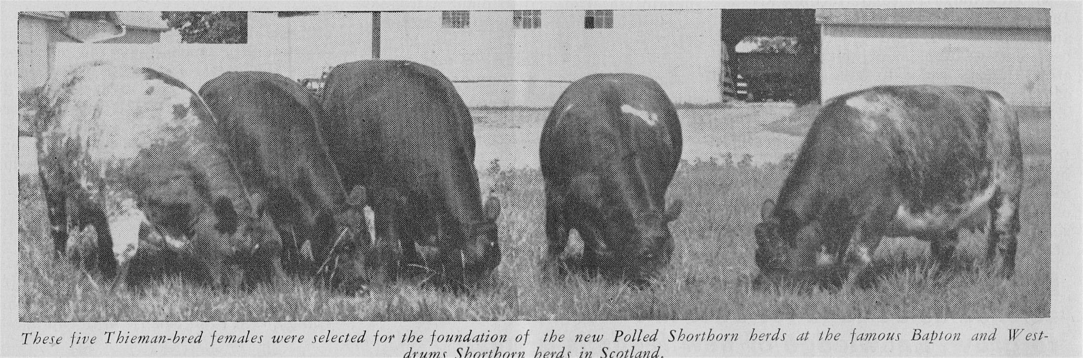 5 Thieman Cows