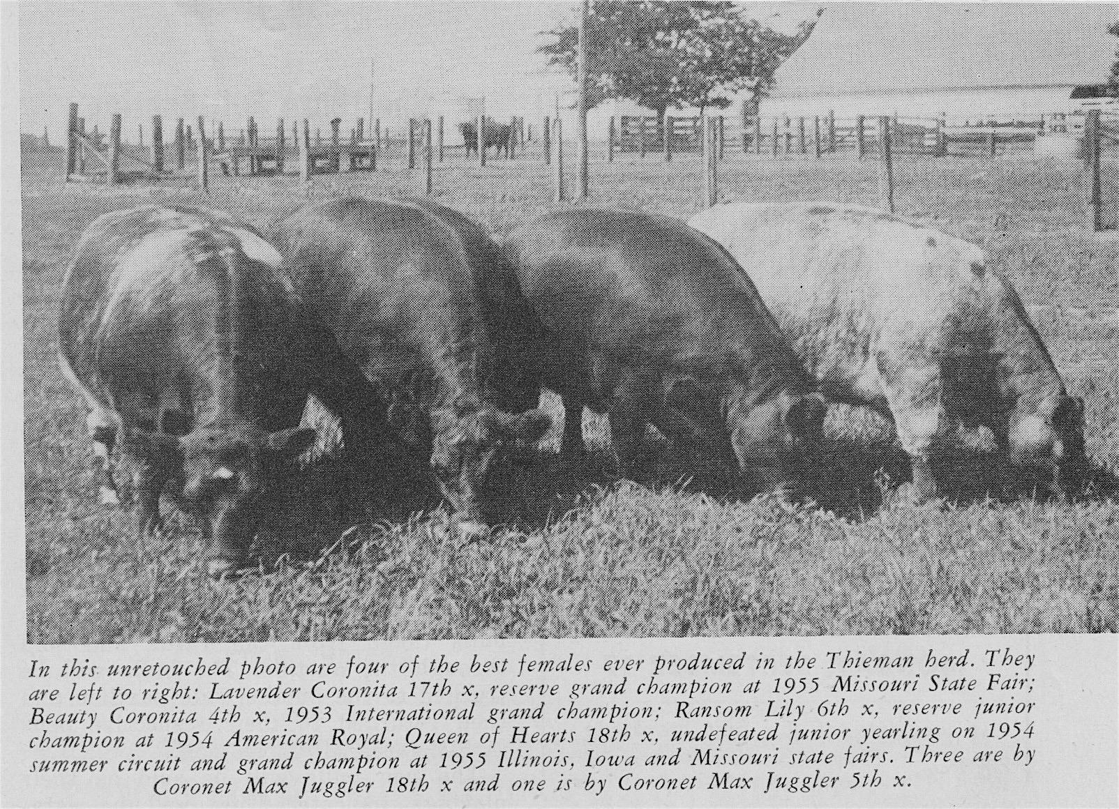 4 Thieman Cows