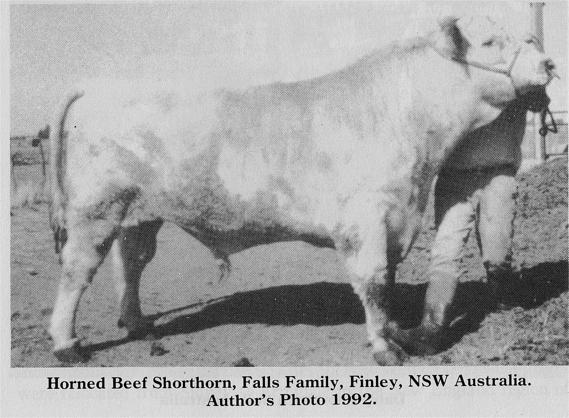 Horned Beef Shorthorn-- Falls Family, NSW Australia