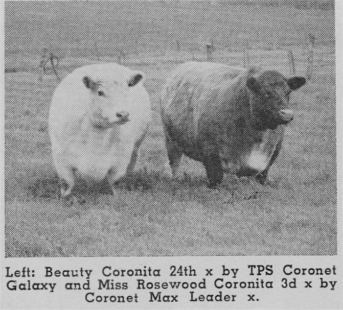 Coronita Cows