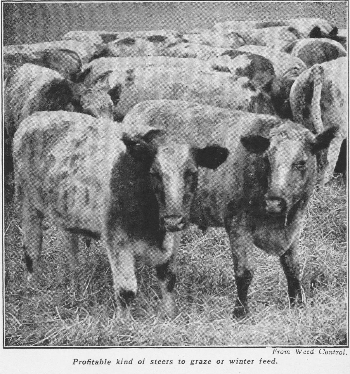 Shorthorn Steers, 1932