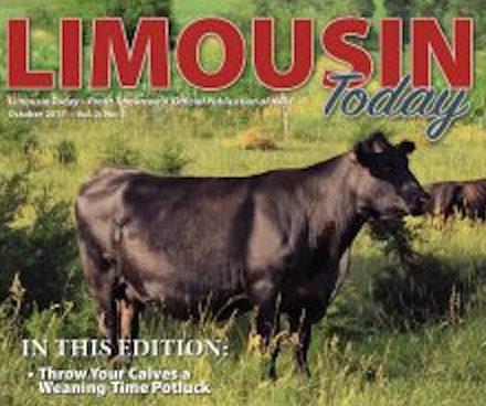 "Modern ""Purebred"" Limousin"