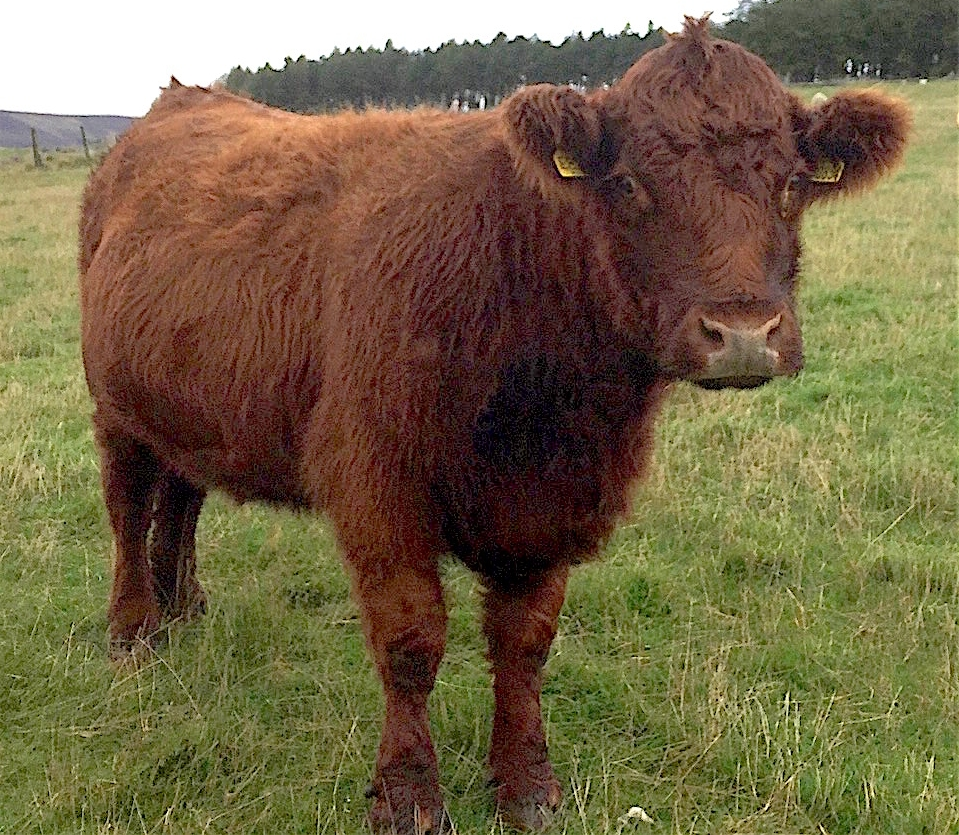 Luing Cow (Scottish Highland-Shorthorn X)