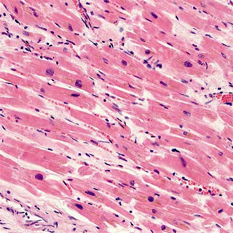 Muscle cells can be propagated in a laboratory.