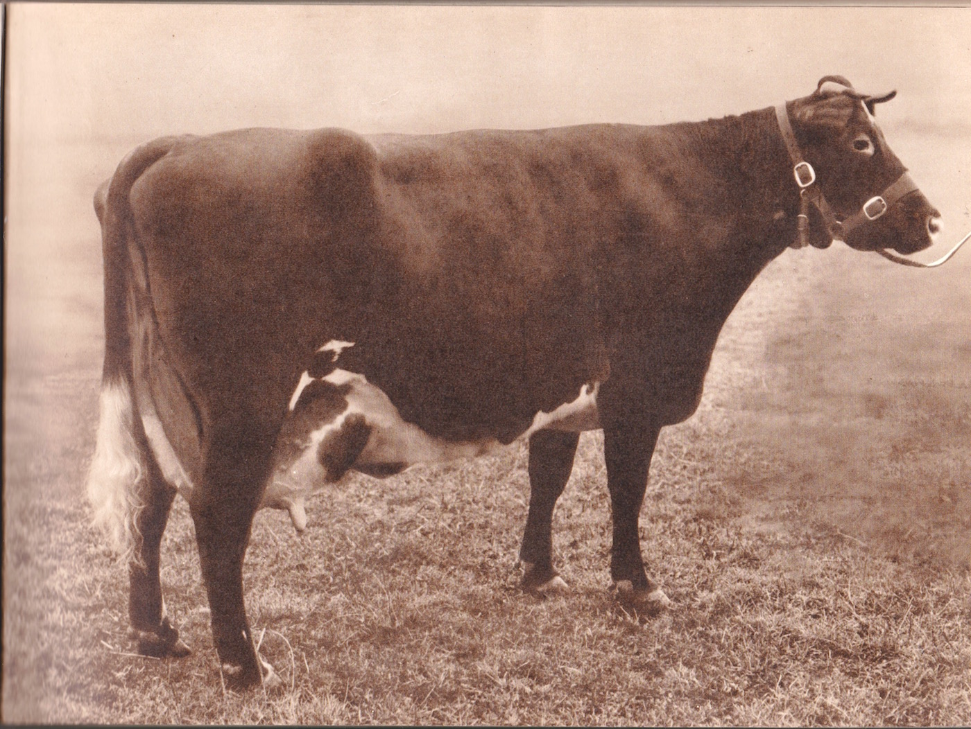 Typical Hub's cow