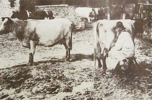 Milking Shorthorns, 1880's