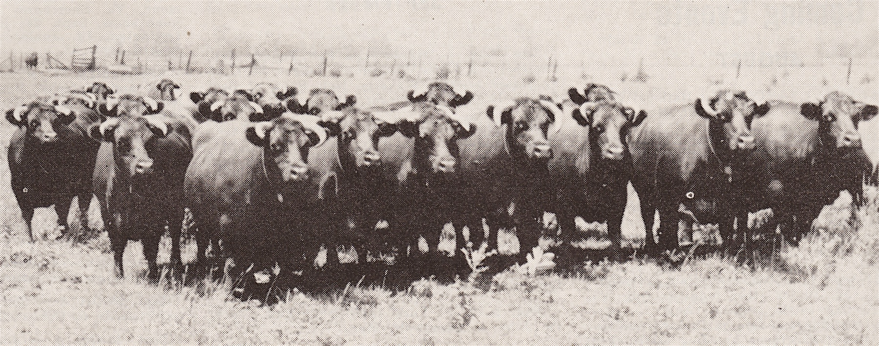 Shorthorn Herd, 1930