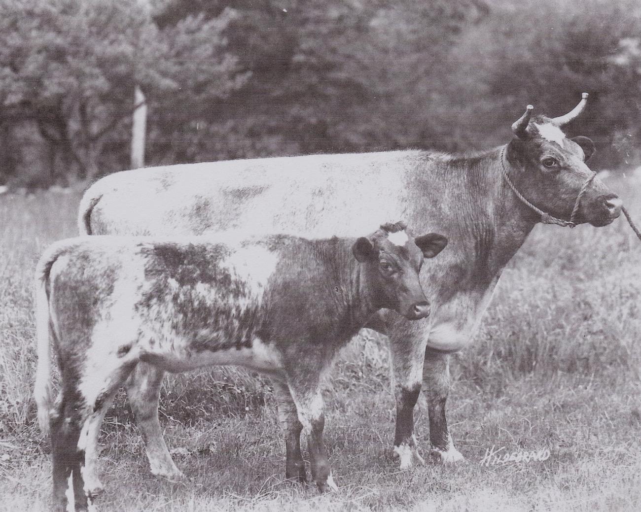 Babraham Rarity, 1910
