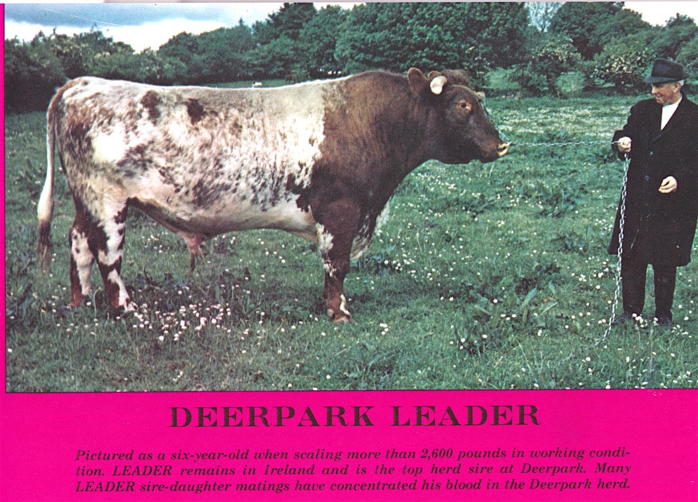 Deerpark Leader
