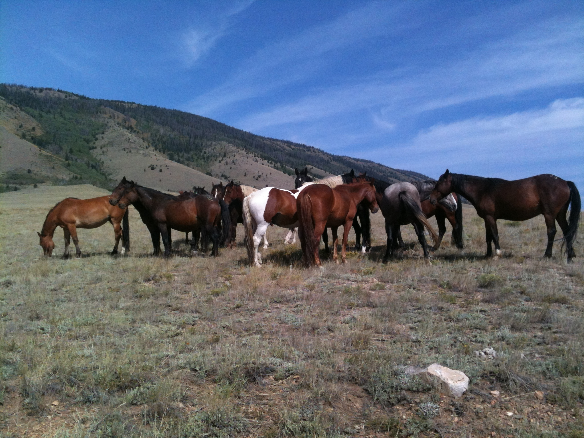 A herd of wild horses in Wyoming - waiting.