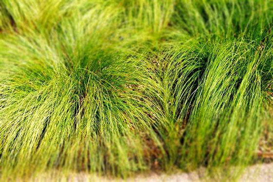 Shade Loving Grasses and Sedges