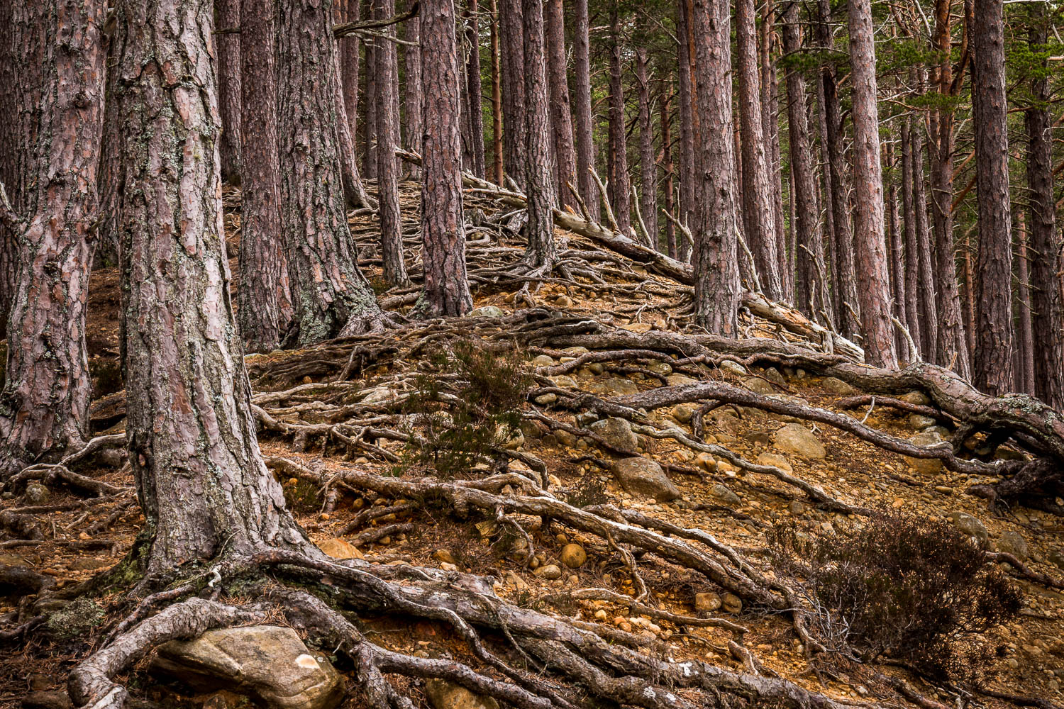 Caledonian Pines, Rothiemurchus Forest