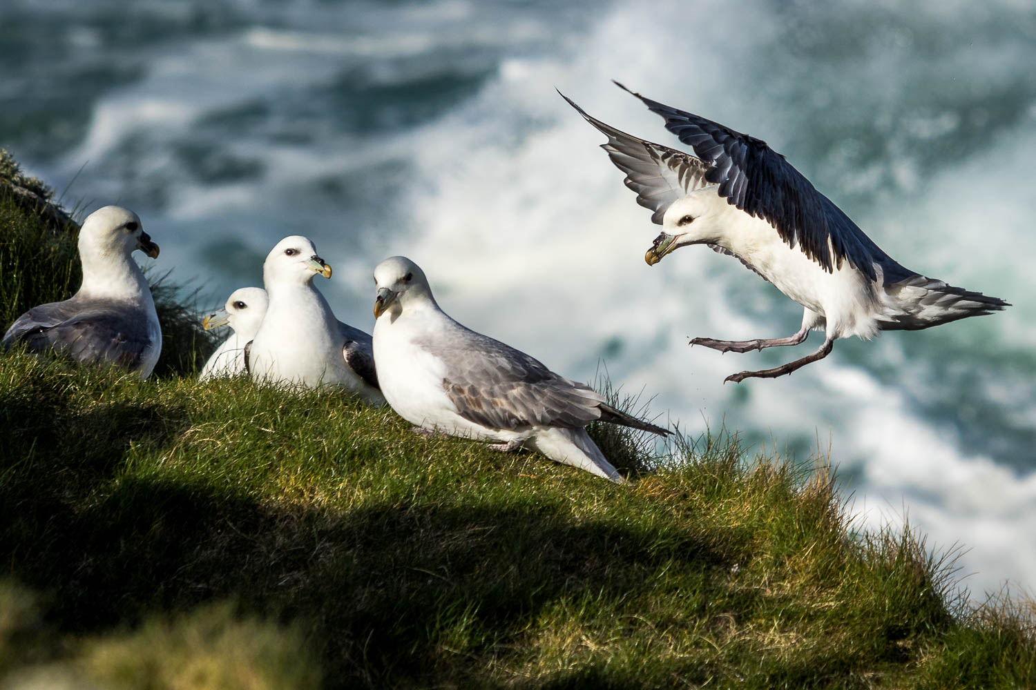 Fulmars found on the rocks at Sloc a' Ghille Mhoir.