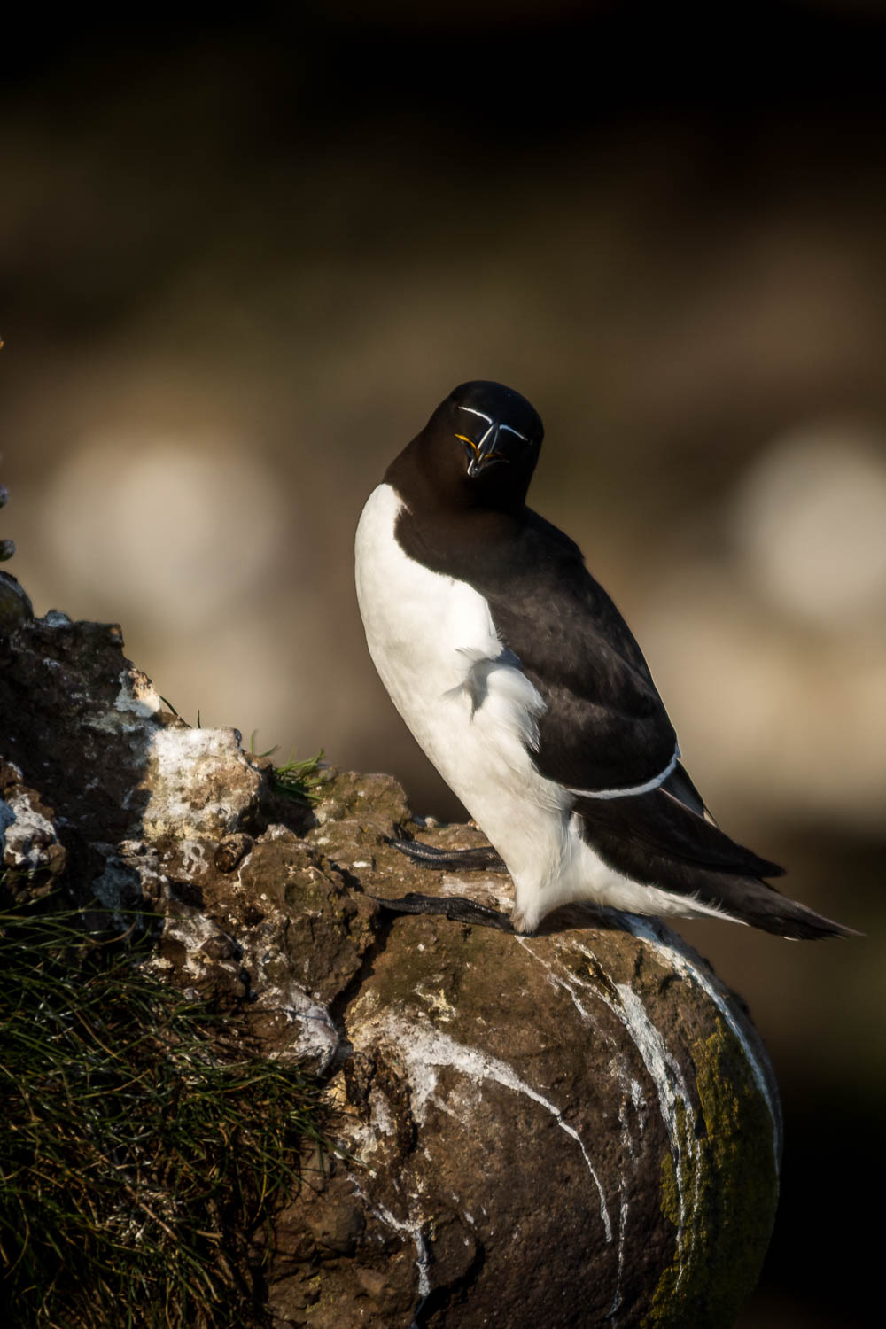 Razorbill posing for the camera.