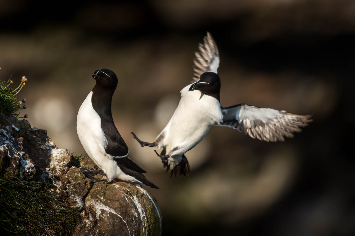 Incoming... A Razorbill decides to drop in where it isn't wanted...
