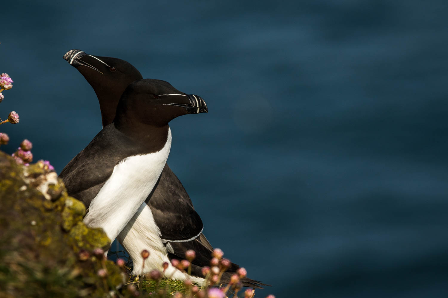 A Razorbill mating pair.