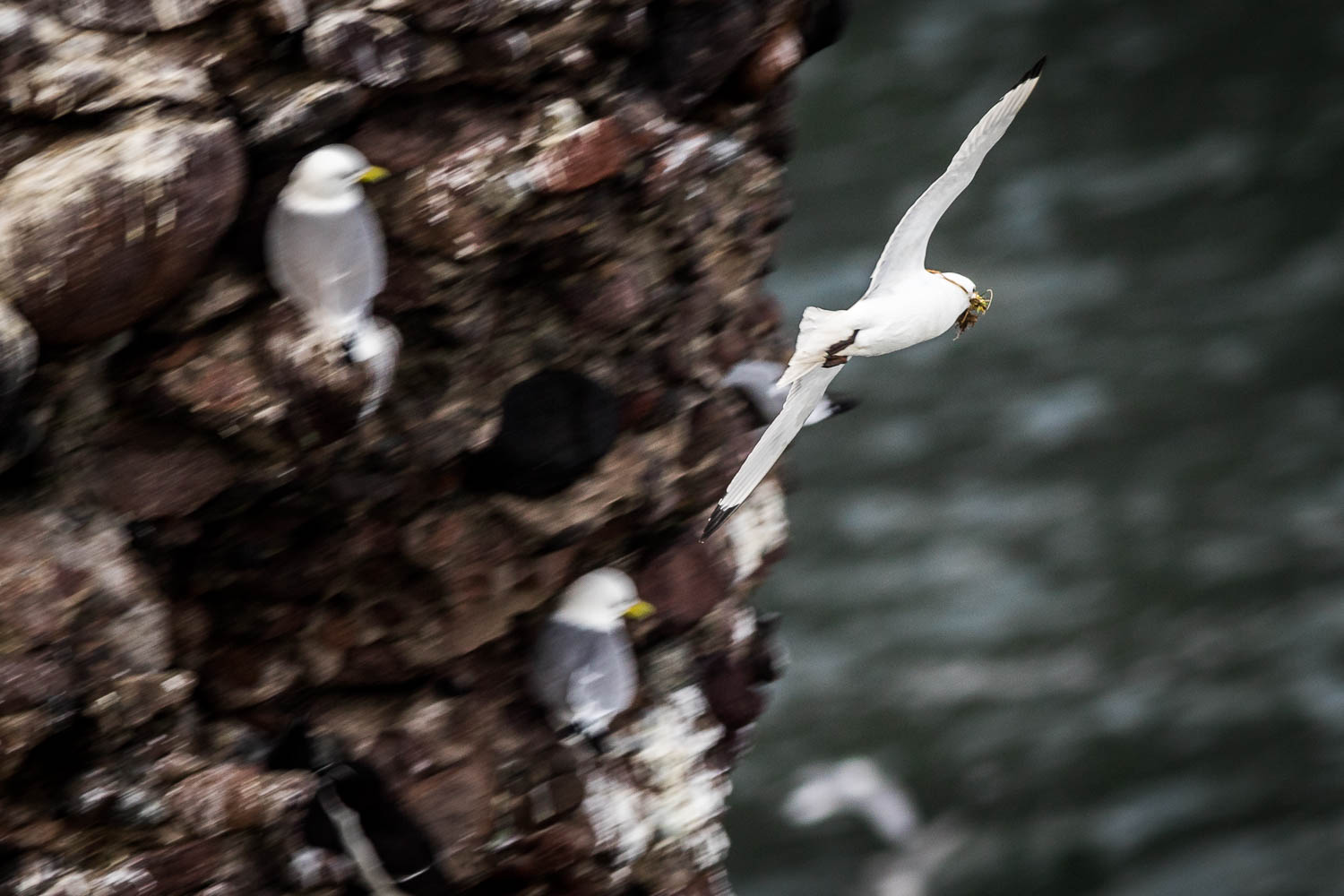 A Kittiwake returning to its nest with a bill full of nesting material.