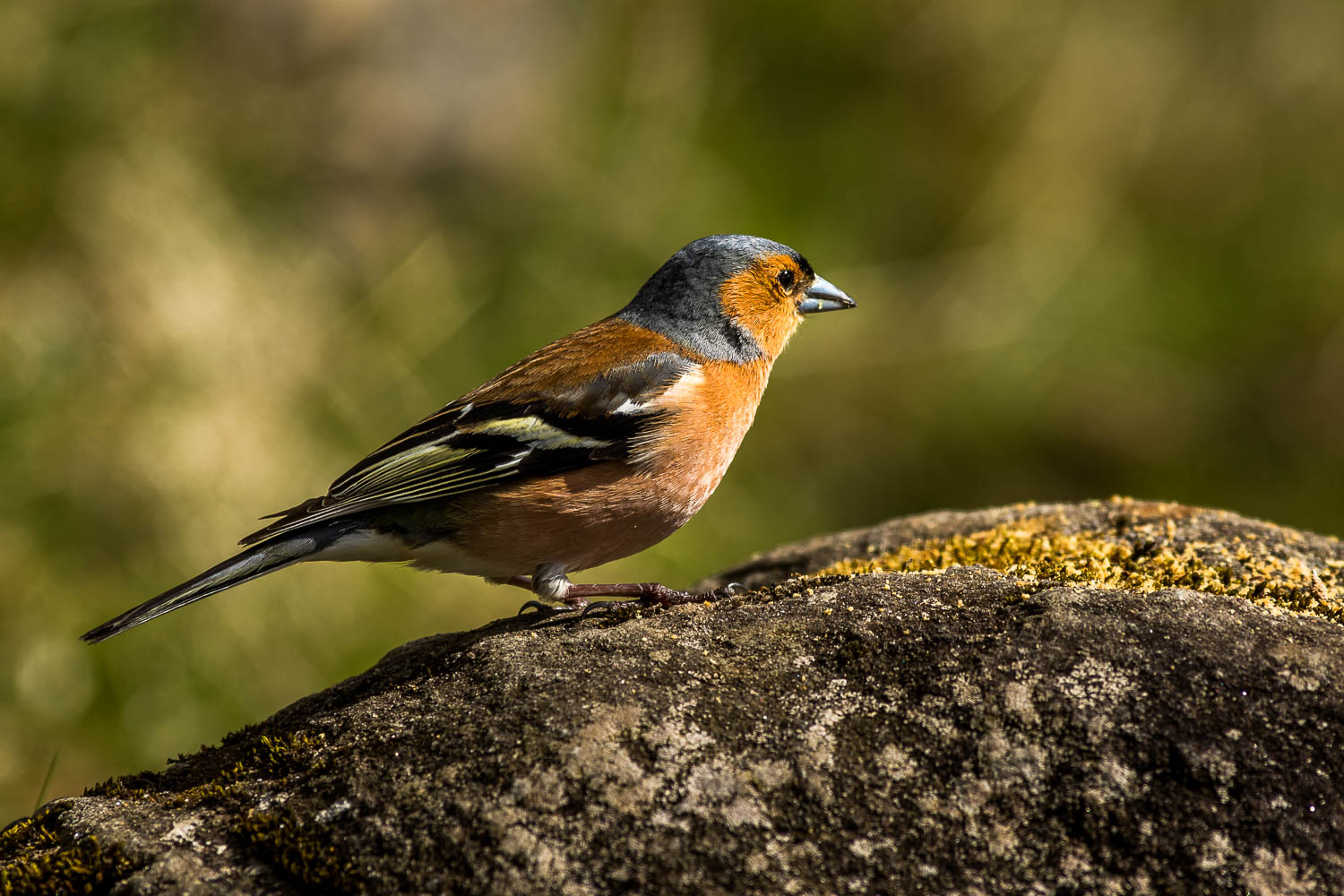Male Chaffinch enjoying our crumbs.