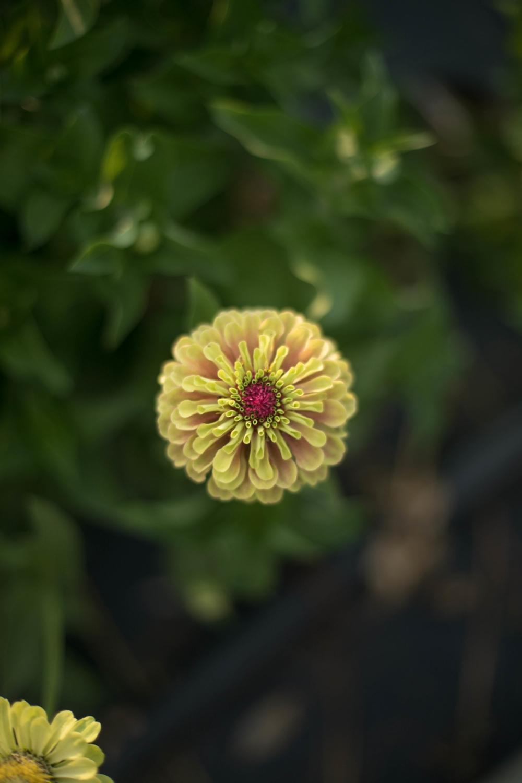 Jimena-Peck-Denver-Lifestyle-Editorial-Photographer-Native-Hill-Farm-Flowers-Yellow