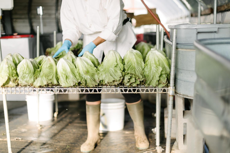 Jimena-Peck-Denver-Lifestyle-Editorial-Photographer-Native-Hill-Farm-The-Veggies-Scurrying-Lettuce