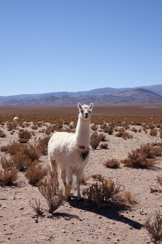 Jimena Peck Denver Lifestyle Editorial Photographer Alpaca