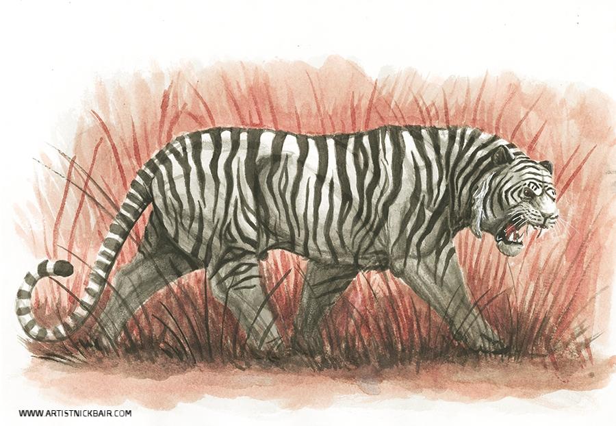 Walking White Tiger