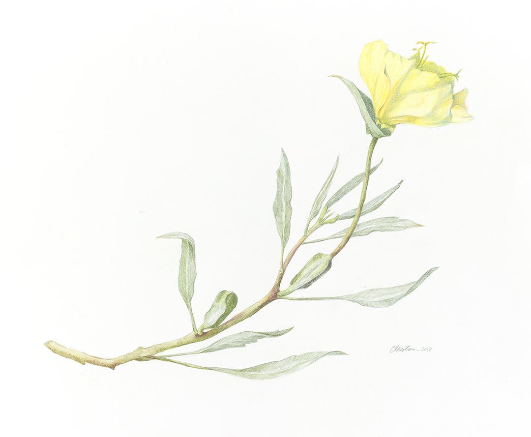 Clair Gaston-Buttercup-10-23-18-small.jpg