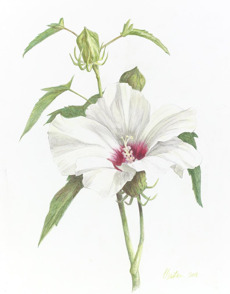 Clair Gaston-Hibiscus-10-23-18-small.jpg