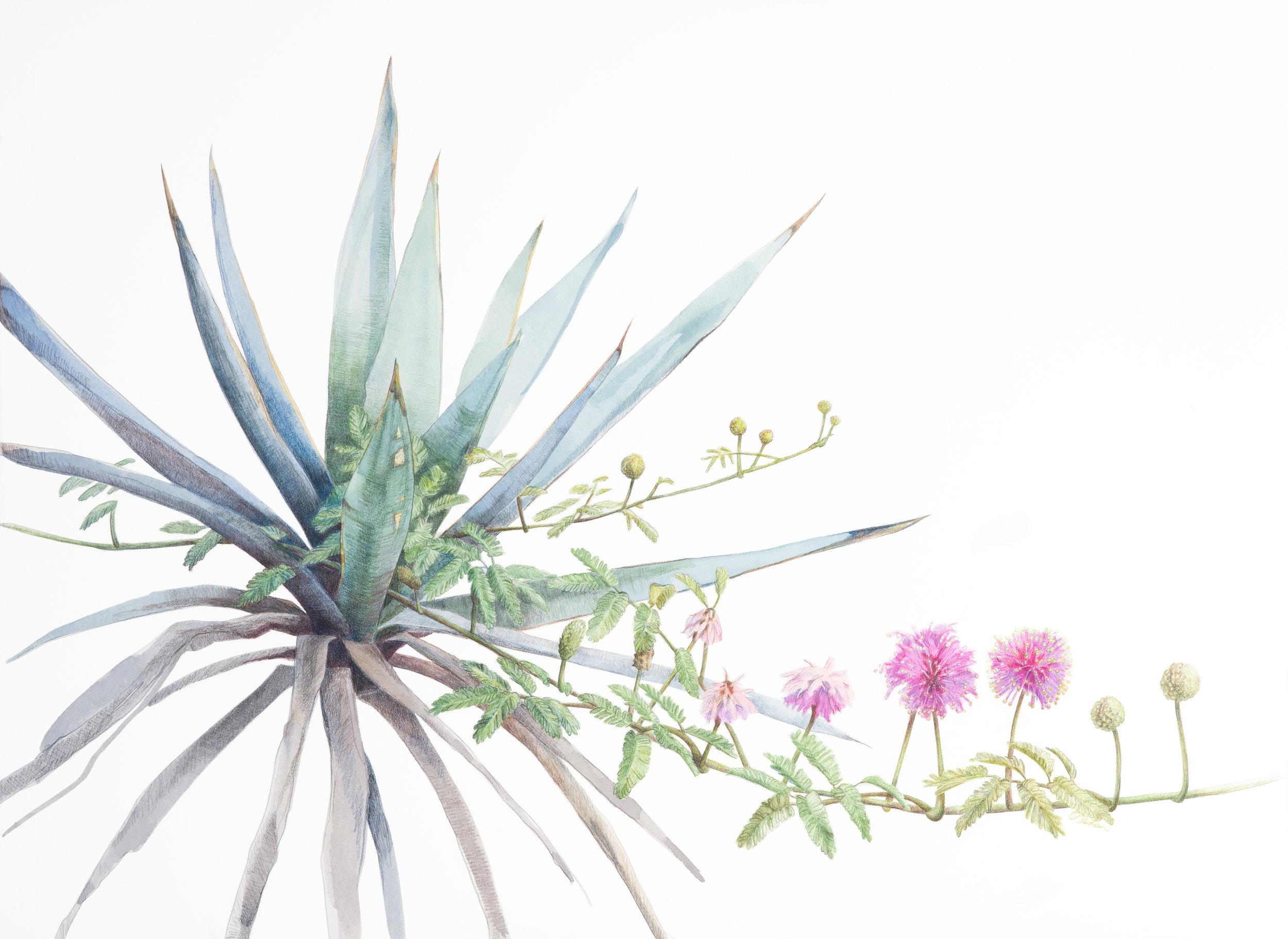 agave-and-sensitiveplant-drawing.jpg