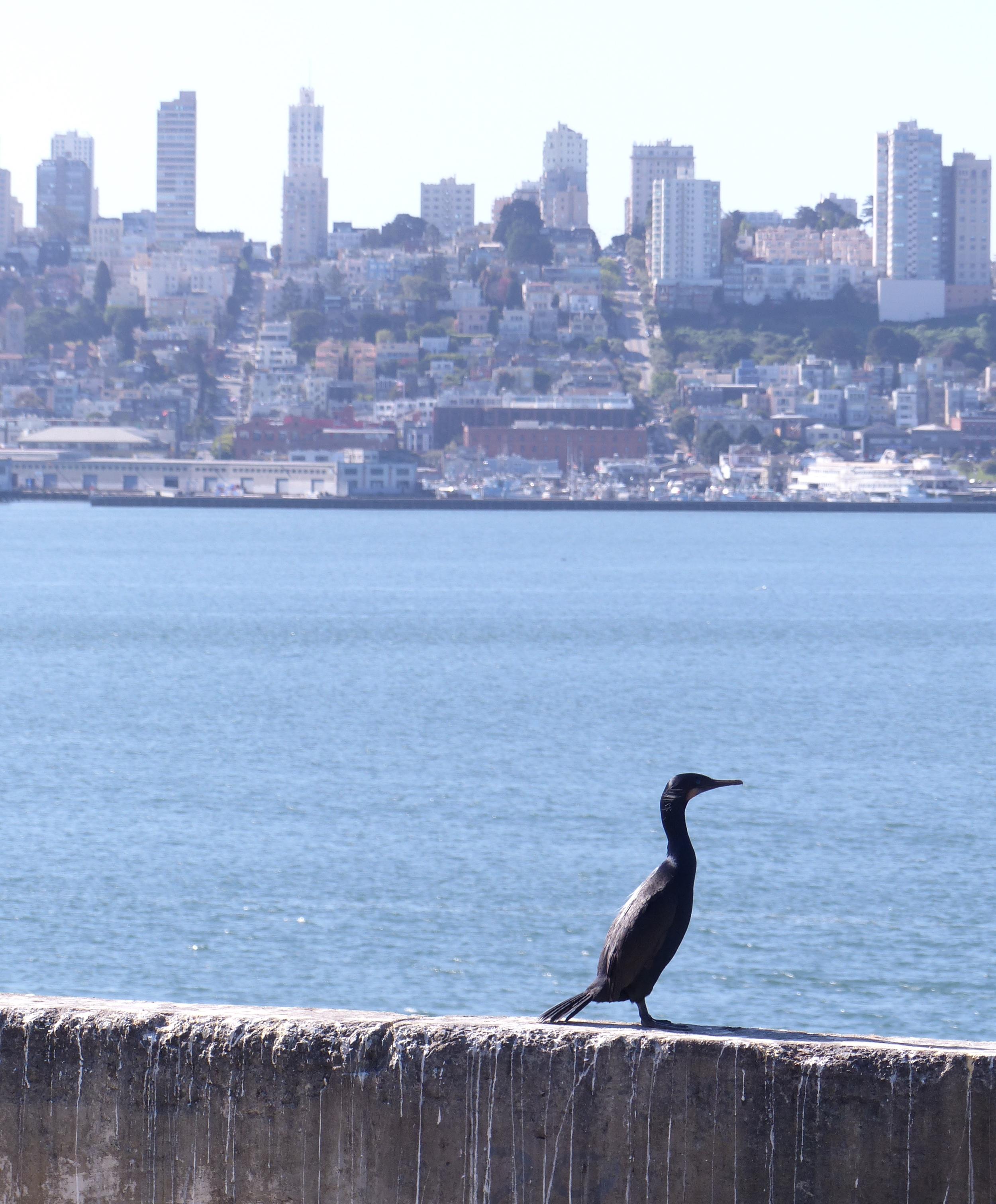 Cormorant on Alcatraz Island with San Francisco behind. Photo by Heather Robinson.