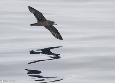 Flesh-footed shearwater. Photo copyright by  Ron LeValley .