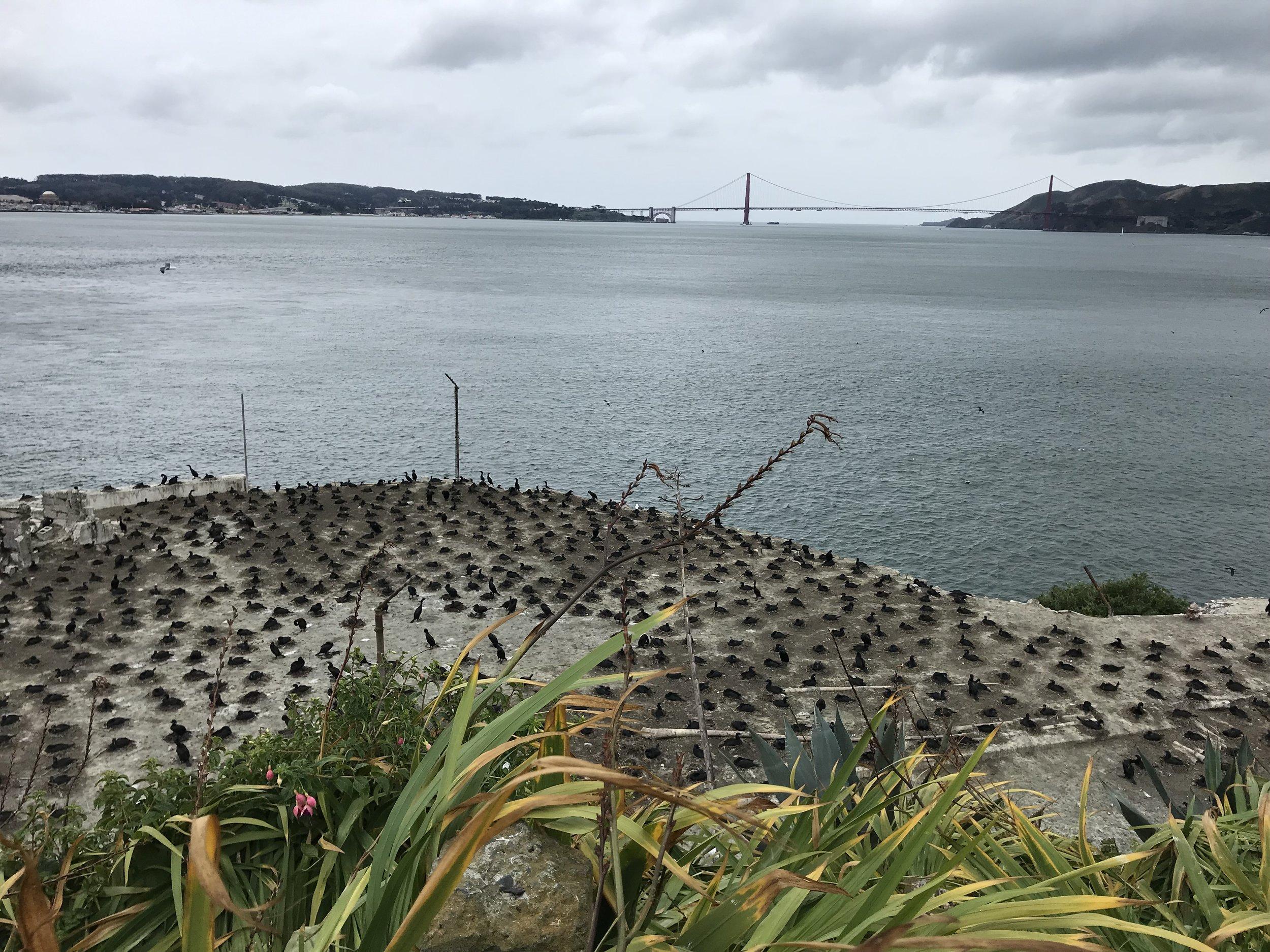 Alcatraz Island cormorant colony prior to the May 2019 storm.