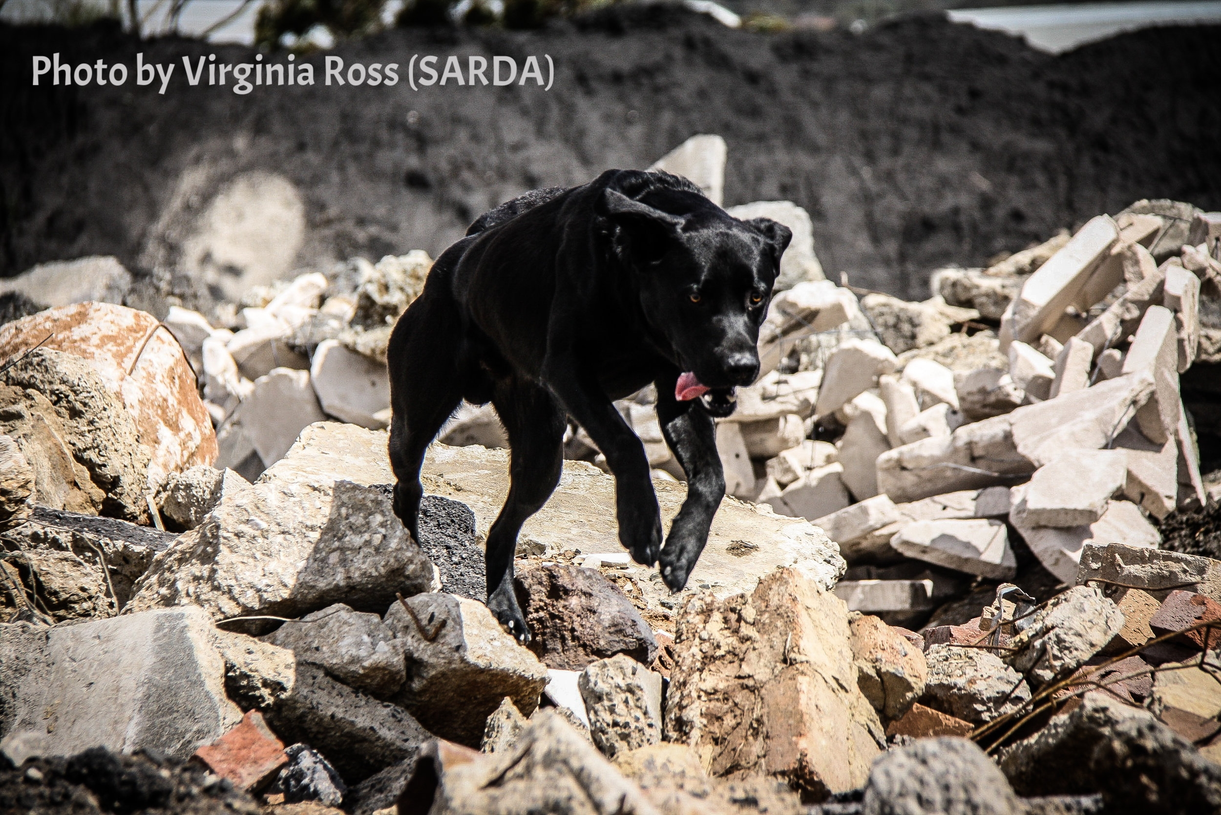 """K9 Obie (SARDA) is focused on finding the """"survivor"""" during an exercise."""