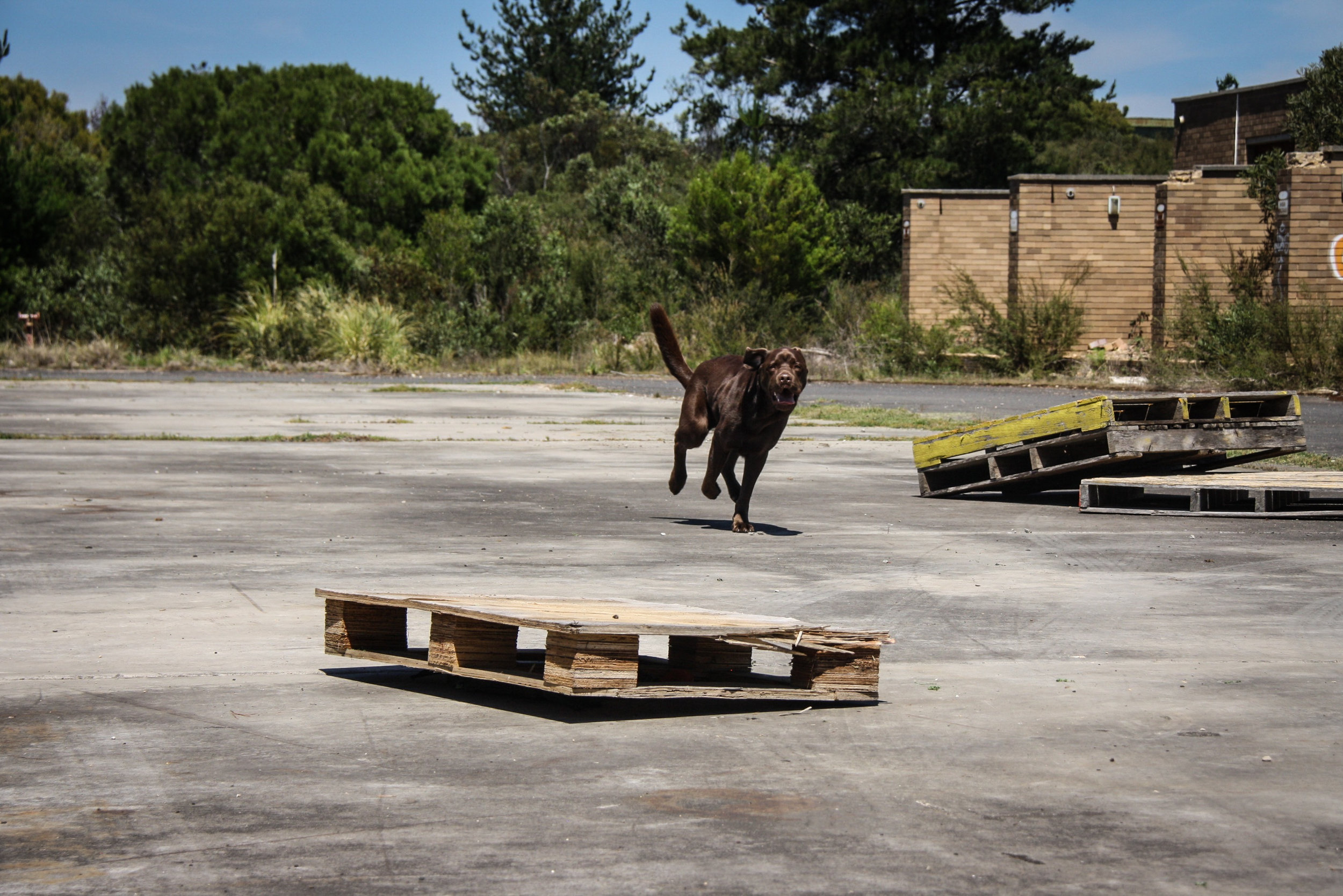 "K9 Banjo(SARDA) performs a recall through the distraction ""gauntlet"""