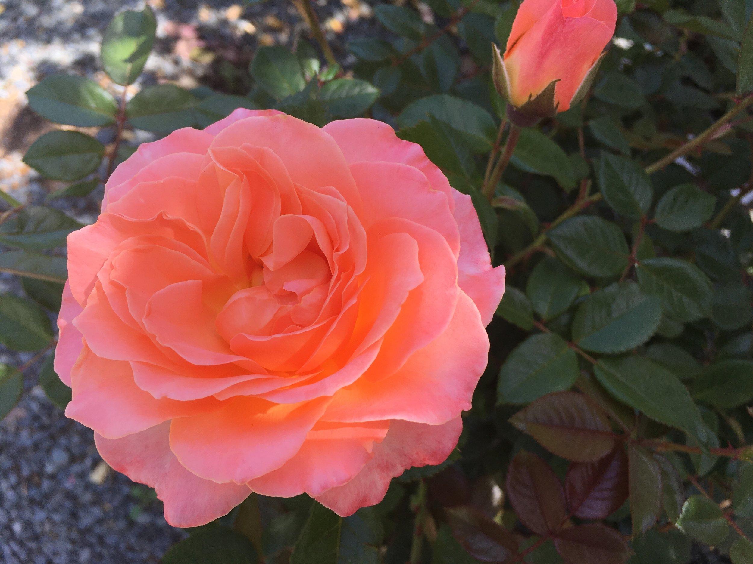 'Jump for Joy' Rose