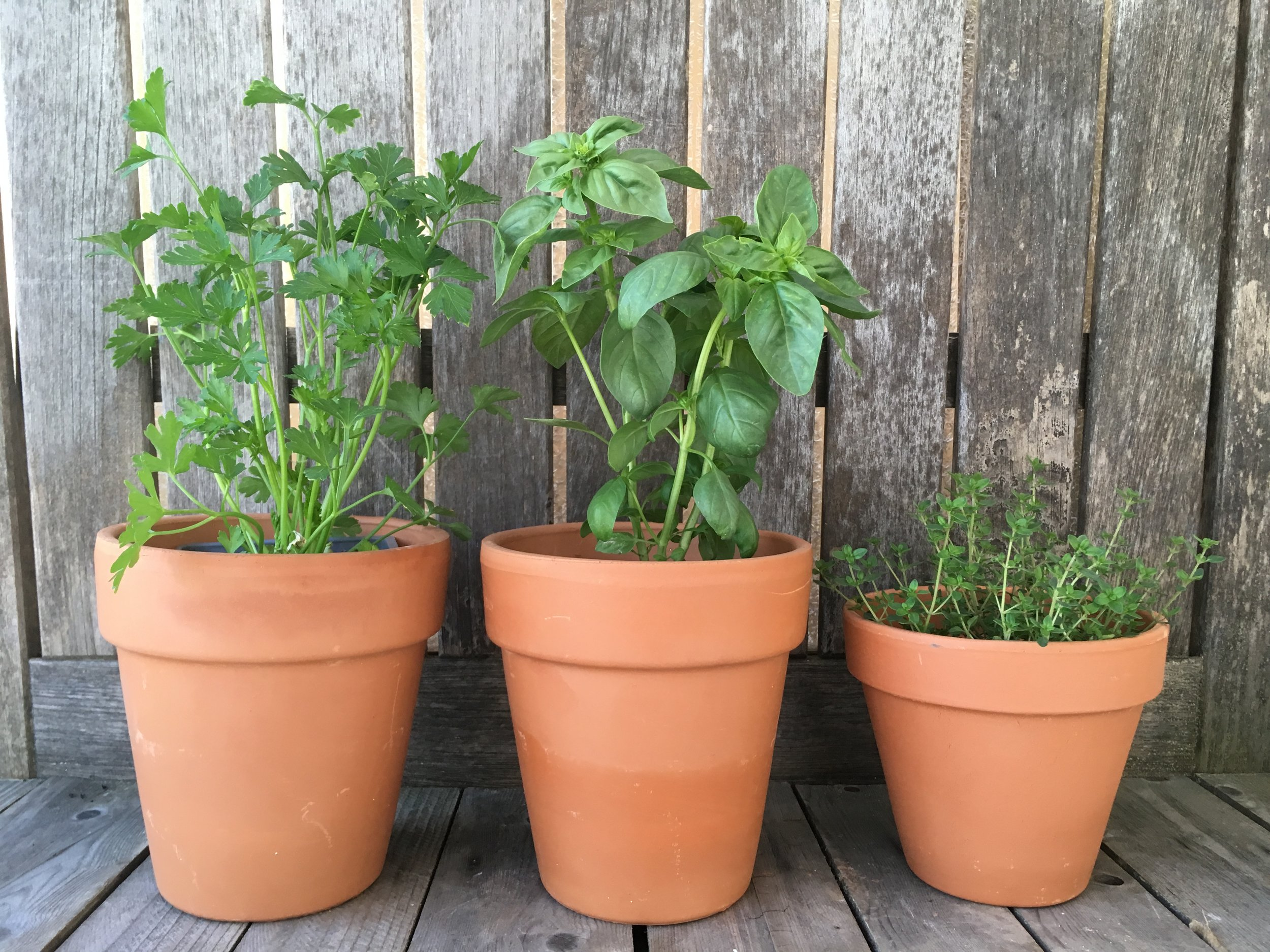 "Pictured: English Thyme, ""Large Leaf"" Italian Basil (just restocked) and Plain Italian Parsley."