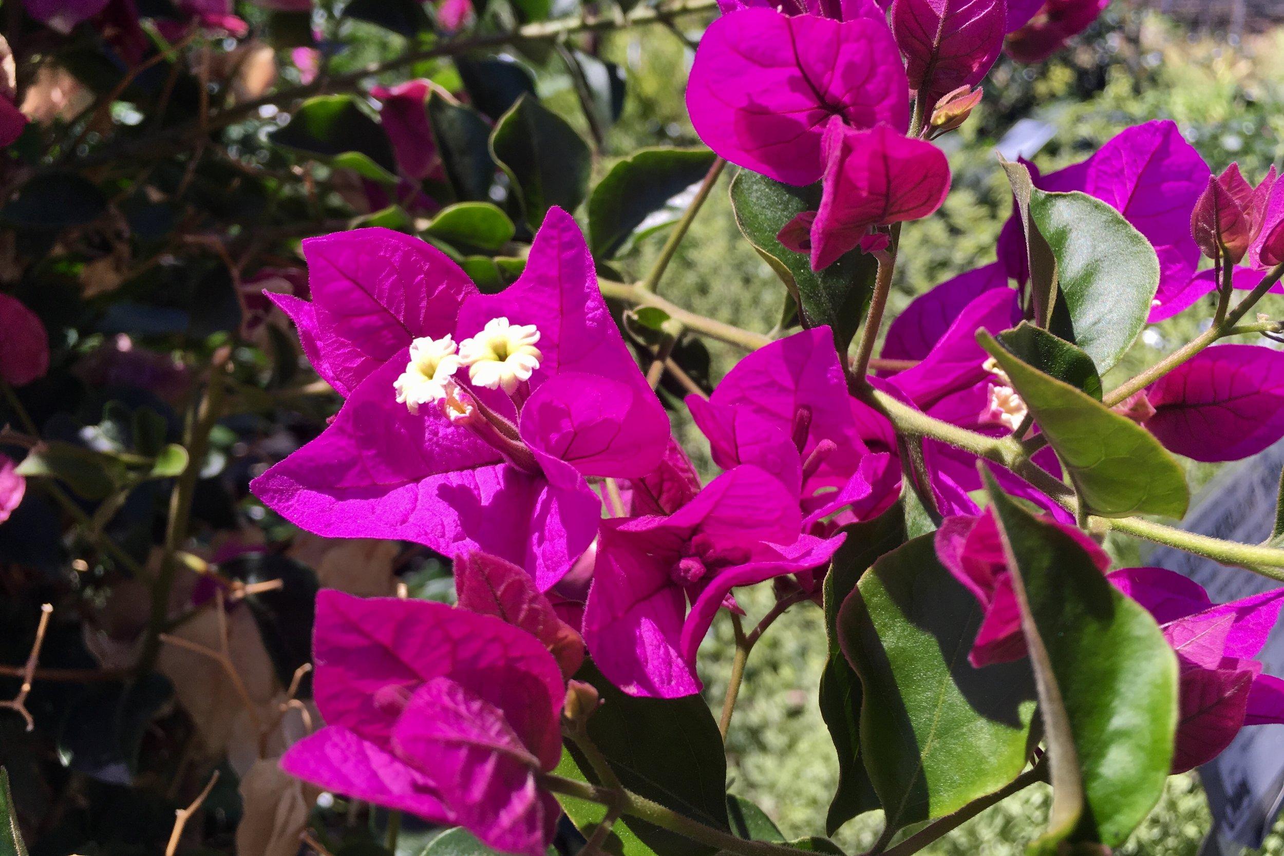 'Royal Purple' Bougainvillea